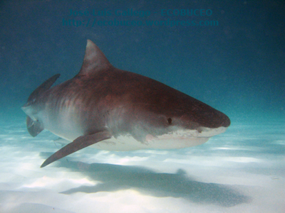 Tiburón tigre. EL segundo tiburón máspeligroso.