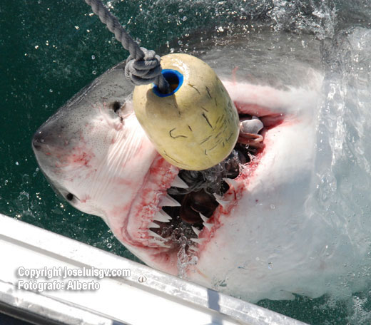 Feeding White Shark