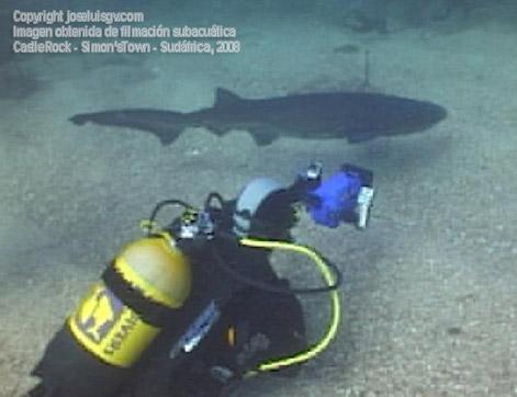 Joven Cow Shark de metro y medio