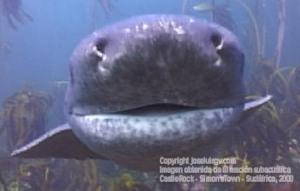 Boca de tiburón vaca