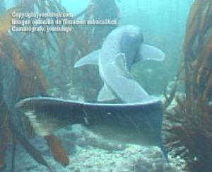 cuerpo alargado y ágiles nadadores