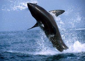 ataque del tiburón blanco