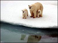 Osos polares al borde del hielo