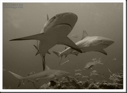 puntas-negras-de-arrecife