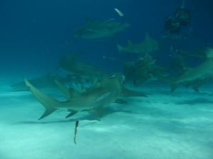 Decenas de tiburones limón escoltan a los tigres